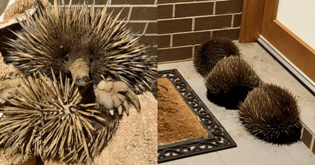 Interesting Facts About Echidnas And How We Can Protect Them